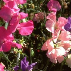 Everwilde Farms - 50 Bijou Mix Sweet Pea Wildflower Seeds - Gold Vault Jumbo Seed Packet -- Wow! I love this. Check it out now! : Gardening Flowers