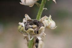 Semer des graines de roses trémières reste une activité facile et qui ne demande aucune compétence nécessaire pour réussir. Quand elles ne se ressèment pas çà et là au pied...