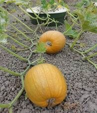 Pumpkins growing with the Waterboxx - The Waterboxx can be used to grow vine crops like these pumpkins. The Waterboxx acts as a sunscreen for the roots of the pumpkin, preventing the water beneath the basin from evaporating. When growing most pumpkins the Waterboxx never needs to be refilled. #droughttolerant
