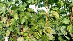 Weintrauben im Weinviertel Fruit, The Fruit