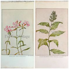 vintage botanical print wild pink and false by ImSoVintage on Etsy, $6.00