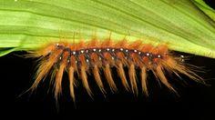Norape nigrovenosa, Megalopygidae, Yasuni National Park