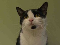BISCUIT - A1036913 - - Manhattan   ***TO BE DESTROYED 06/01/15*** PLAYFUL BISCUIT LOVES TO RUN AROUND THE HOUSE AND IS GOOD WITH KIDS AND OTHER CATS- YET BISCUITS OWNER DUMPED HIM WHEN HE MOVED TO A CAT FRIENDLY APARTMENT!! BISCUIT is a kitty with a lot of energy and LOVES to play. In fact some people asked the owner if his cat thought he was a dog!!! BISCUIT is good with other cats and he was said to just love to be around everyone. This social kitty is now being killed be