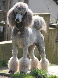 definition of a miami clip poodle trim - Google Search
