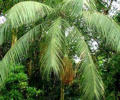 Folha Palmito-Juçara