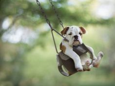 on swing #bulldog #puppy #cute #photography