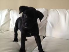Rex is an adoptable Labrador Retriever Dog in Charlotte, NC. Rex is an 8 week old lab mix puppy. This the little boy is the ultimate puppy, VERY playful and happy! He mostly likes to romp around and c...