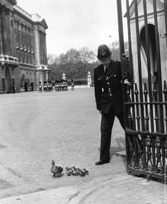 A policeman at Buckingham Palace holds the gate open so that a duck and her ducklings, from nearby St. Jamess Park, can leave the palace forecourt, Tour Eiffel, Old Pictures, Old Photos, Buster Keaton, Beatiful People, Pub Vintage, Little Britain, Britain Uk, Wellcome Collection