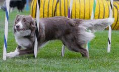 """6-Lilac Border Collie - Just as the Blue Border Collie is referred to as a """"dilute"""" of black, the Lilac is considered a dilute of Red (brown). The coat appears a pale grey with a pink tint and the nose leather is a gray color."""