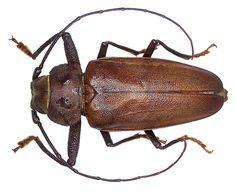 Family: Cerambycidae Size: 25-60 mm Origin: Europe, North Africa Ecology: Development in pine sticks Location: Corsica, Asco Valley leg det. U.Schmidt, 1973 Photo: U.Schmidt, 2005