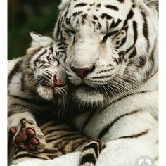 he beautiful White Tiger and her cub 😍😍. Before cross breeding and inbreeding in captivity the White Tiger is actually part of the I Love Cats, Big Cats, Beautiful Cats, Animals Beautiful, Cute Baby Animals, Funny Animals, Happy Animals, White Tiger Cubs, White Tigers