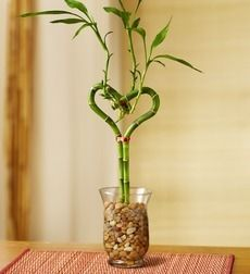 The meaning of lucky bamboo plays an important role as a living example of the feng shui elements of water, wood and earth.