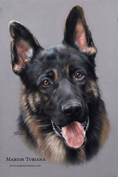 This German Shepherd Dog (GSD) looks so realistic. Everything by this artist is incredible. Animal Paintings, Animal Drawings, Pencil Drawings, Dog Drawings, German Shepherd Painting, German Shepherd Dogs, German Shepherds, Color Pencil Art, Wildlife Art