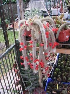Your place to buy and sell all things handmade Happy Flowers, Red Flowers, Colorful Flowers, Beautiful Flowers, Cacti And Succulents, Planting Succulents, Cactus Plants, Cactus For Sale, La Germination