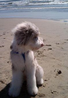 Beach Day for Kora the Australian Shepherd Mix