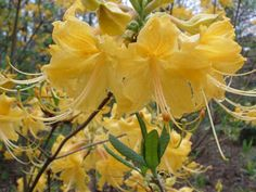 Admiral Semmes Azalea RHODODENDRON 'ADMIRAL SEMMES' Category: Shrub Hardiness: Zone 5 to 9 Conditions: Full Sun to Part Shade