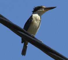 Sacred Kingfisher +====================+ On the wire over irrigation channel near Goschen. It's wet, and I think it just had a bath and was drying out. They don't seem to do a lot of water hunting I believe.
