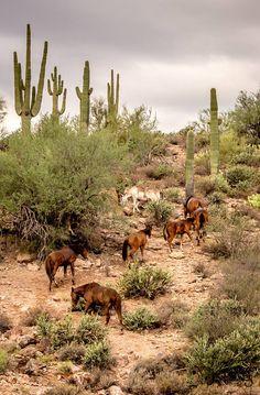 Arizona Wild Horses by Sandy Klewicki