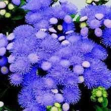 """Ageratum > Tycoon™   Seed Annuals   (Ageratum houstonianum)    As early as Hawaii, Tycoon works well in small packs and is known for its fast production time and fast secondary blooming. This compact multiflora type makes an excellent mass-market item, and shows strong garden performance for the dwarf class.    --------------------------------------------------------------------------------  Height:     Pack-- 3"""" - 4""""        Garden-- 6""""…"""