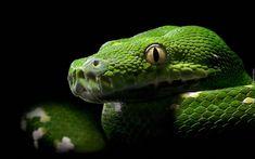 Zielony, Wąż