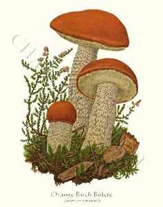 Orange Birch Bolete mushroom art print 8x10 Print