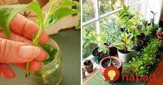 Sladký zázrak z parapety: Táto bylinka celkom nahradí cukor, pozrite sa, ako jednoducho ju môžete pestovať doma!