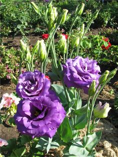 lisianthus texas rose height 24 to 30 spread plant 3 to 4 apart annual stuff that grows. Black Bedroom Furniture Sets. Home Design Ideas