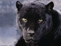 Close-up Picture of a black Panther.