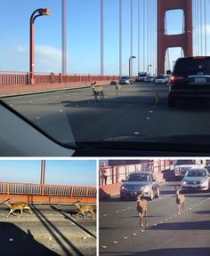 Deer crossing the Golden Gate http://www.liveleak.com/view?i=da9_1410000423  http://www.reddit.com/r/pics/comments/2fnisk/just_a_couple_of_deer_crossing_the_golden_gate/  http://www.reddit.com/r/pics/comments/2fnyi1/today_there_were_deer_on_the_golden_gate_bridge/ http://www.reddit.com/r/pics/comments/2fo6kd/earlier_today_the_golden_gate_bridge_had_some/