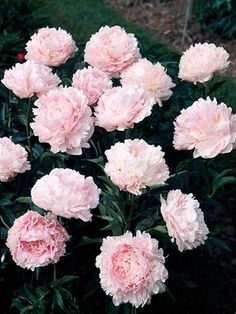peonies such as Sandy Lake house.
