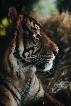 Still thinking tiger... - Anthony Graziano