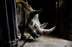 Four of the last seven Northern White Rhinos in the world are airlifted from a zoo in the Czech Republic to a park in Africa in an attempt t...