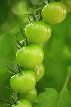 No freezing weather this year means my tomato plants are already in bloom and getting ready to go. Fried Green Tomato BLT's, here we come! Green Life, Go Green, Green Grass, Green Colors, Fresh Green, World Of Color, Color Of Life, Green Tomatoes, Cherry Tomatoes