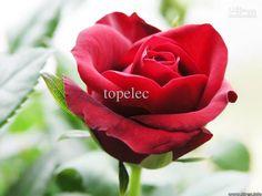 red facequot; rose red semente ** 20 sementes por pacote ** jardinagem sementes de flores em casa