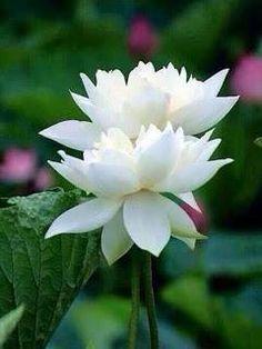 Hoa sen (tiếng Phạn: padma; tiếng Nhật: renge) trong Phật giáo là biểu tượng của sự thuần khiết và sinh hóa hồn nhiên (svayambhu). Theo kinh Lalitavistara phần tâm linh của con người thì vô nhiễm giống như hoa sen mọc trong bùn mà không bị hôi tanh bởi bùn. Còn theo Phật giáo Mật tông thì trái tim con người giống như đóa sen hàm tiếu khi Phật tính phát triển bên trong thì đóa sen sẽ nở. Đây chính là ý nghĩa của việc Phật ngồi trên tòa sen. Trong Phật giáo Tantra đóa sen biểu thị cơ quan sinh…