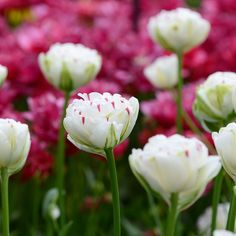 Image result for tulip danceline