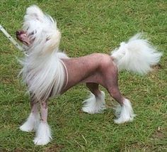 Chinese Crested Dog - Dragon Moon Extravaganza, Male hairless