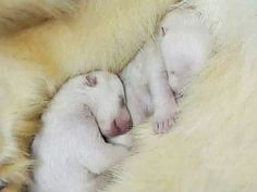 New Born baby polar bears super cute (ijsbeer baby's) Baby Animals, Cute Animals, Arctic Animals, Polar Bears International, Baby Polar Bears, Wild Animals Photos, Great Pyrenees Dog, Brother Bear, Animal Magic