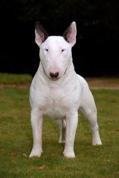 Pitbull Bull Terrier, Chien Bull Terrier, Bull Terrier Tattoo, Mini Bull Terriers, English Bull Terriers, Love Pet, I Love Dogs, Deadly Animals, American Bull