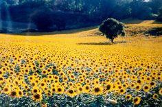 Tuscany - sunflower fields