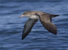 Pink-footed Shearwater - MontereyPelagics