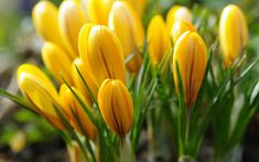 Download wallpapers yellow crocuses, wildflowers, spring, beautiful small flowers, Flora