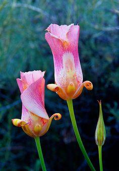 Mariposa lilies, furled near dusk. Photo taken at Pinnacles National Monument, California