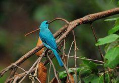 Colors of Wildlife - VERDITER FLYCATCHER