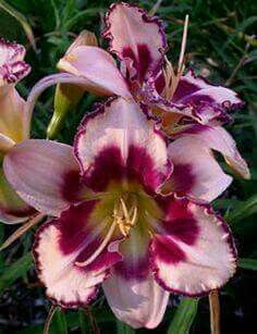 Exotic Flowers, Amazing Flowers, Beautiful Flowers, Tropical Flowers, Purple Flowers, Daylily Garden, Asiatic Lilies, Day Lilies, Flower Pictures