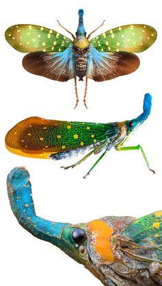 Laternaria candelaria  Fulgoridae vegan