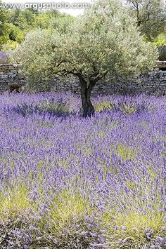 Lavender,  good for you and beautiful to look at.