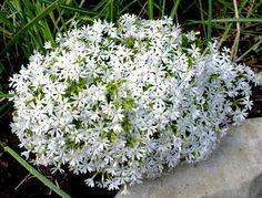 PHLOX SUBULATA SNOWFLAKE' - CREEPING PHLOX - PLANT