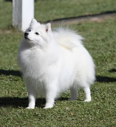 """""""Japanese Spitz, so cute!"""" no arguments here"""