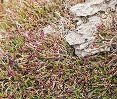 Sarcocornia quinqueflora subsp. quinqueflora - Google Search Coastal, Google Search, Plants, Plant, Planets